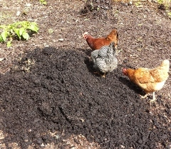 Image of three chickens feeding on Black Soldier Fly larvae